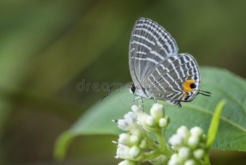 Металлическая бабочка Caerulean - alecto Jamides стоковые изображения rf