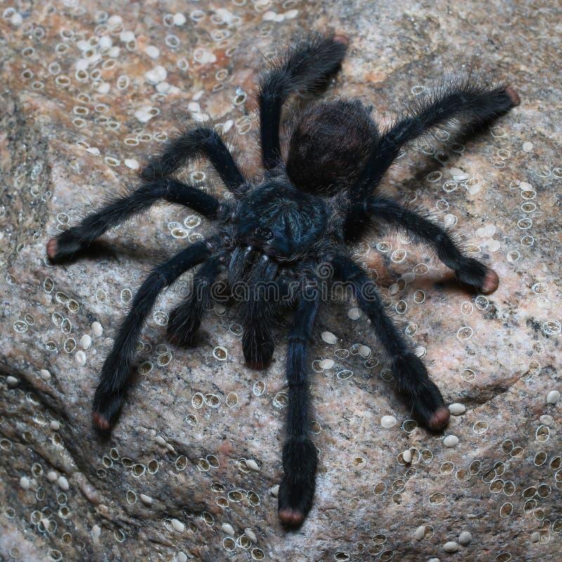 Металлический тарантул Pinktoe стоковые изображения rf
