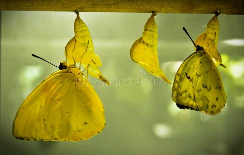 Метаморфоза бабочки стоковые изображения rf