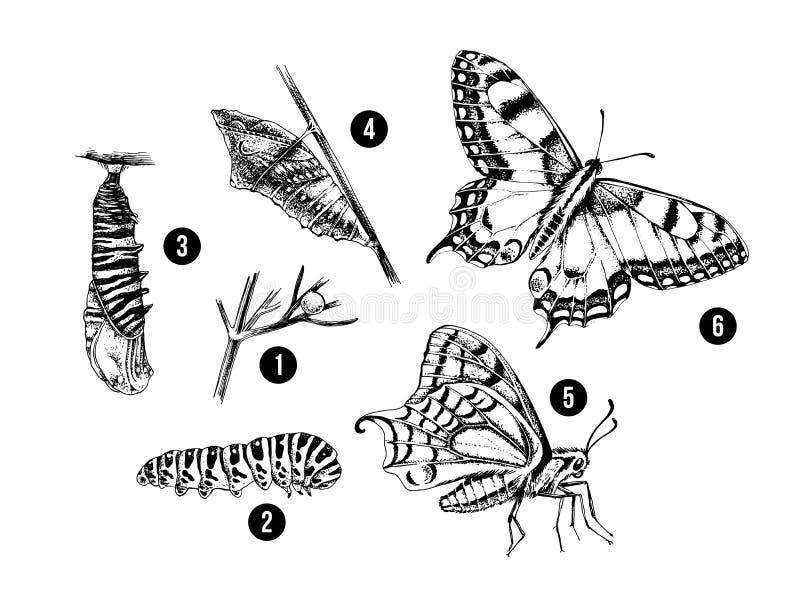 Метаморфоза machaon Swallowtail - Papilio - бабочка иллюстрация штока
