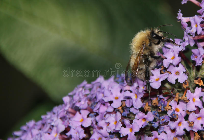 Меховая пчела меда на цветках сирени выпивая нектар стоковое фото