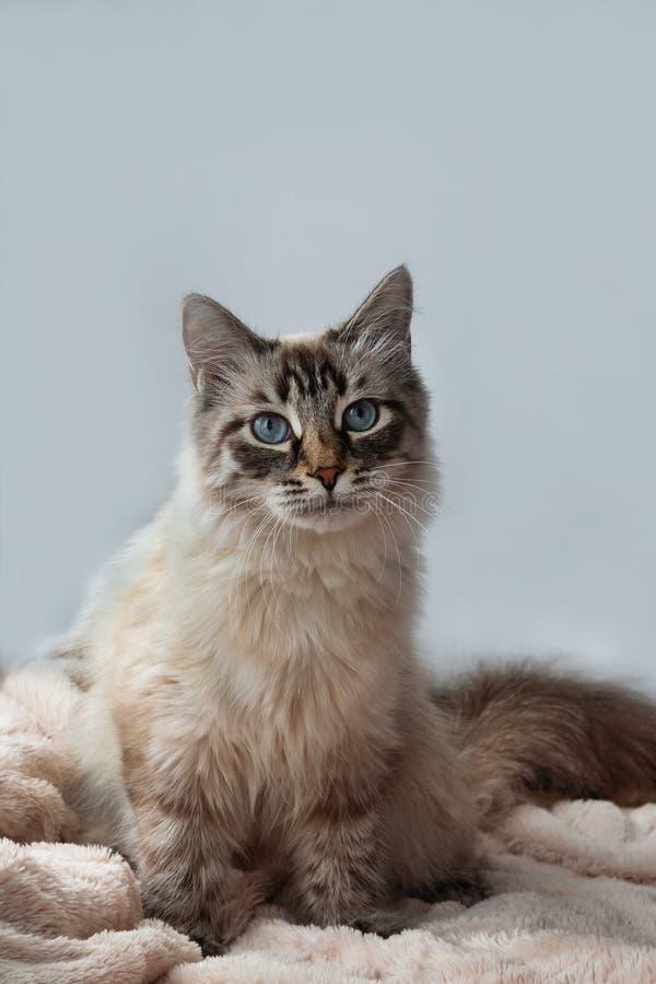 Меховой котенок цвета пункта рыся уплотнения с голубыми глазами на розовом одеяле и серой предпосылке стоковая фотография