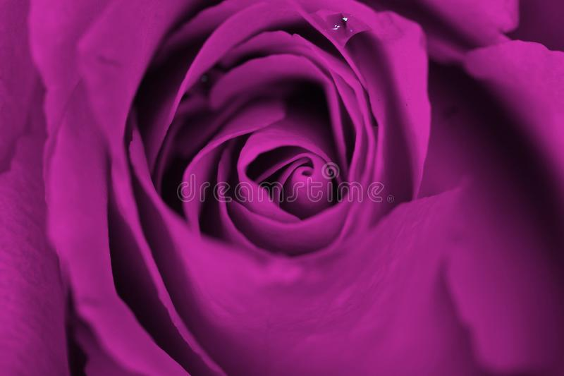 Мечтательные пурпурные розы стоковое фото rf
