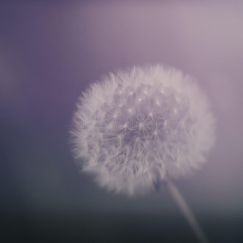 Мечтательные часы seedhead одуванчика aka Влияние Defocussed расплывчатое роман стоковые фотографии rf