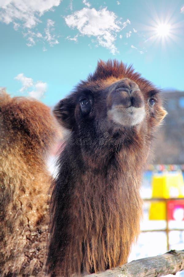 Мечтательный верблюд стоковые фотографии rf