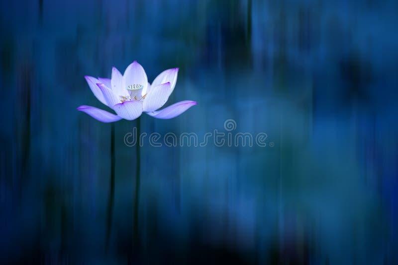 Мечтательный цветок лотоса с запачканной синей предпосылкой стоковая фотография rf