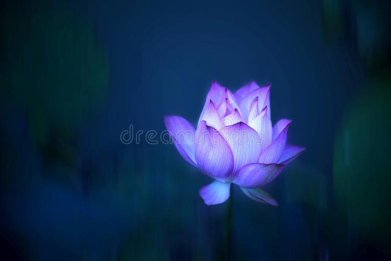 Мечтательный цветок лотоса с запачканной синей предпосылкой стоковые фотографии rf