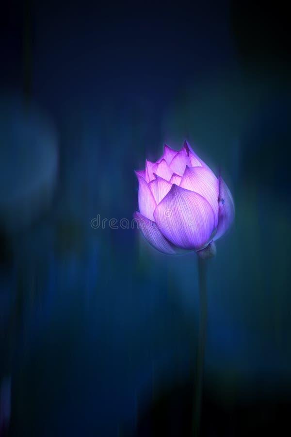 Мечтательный цветок лотоса с запачканной синей предпосылкой стоковые изображения rf