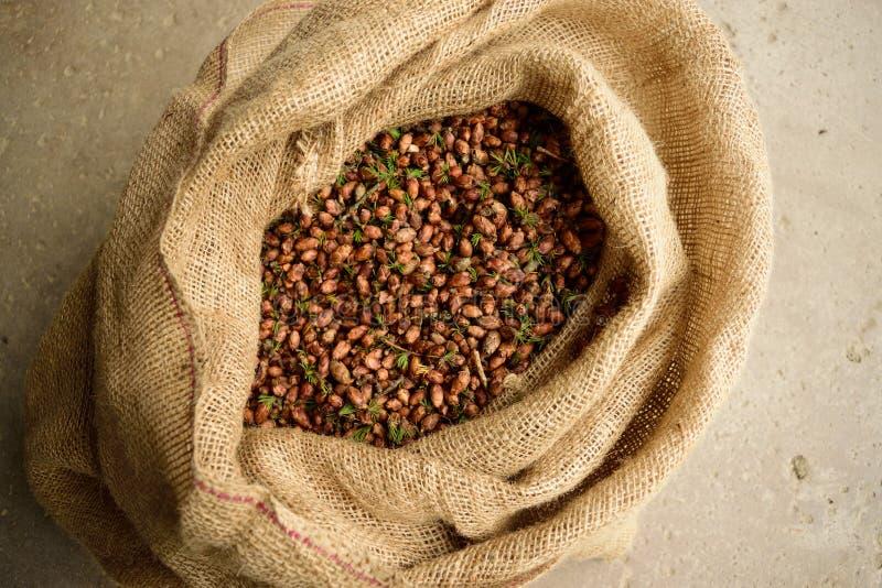 Мешочек из ткани вполне конусов лиственницы Tamarack (laricina Larix) стоковое изображение