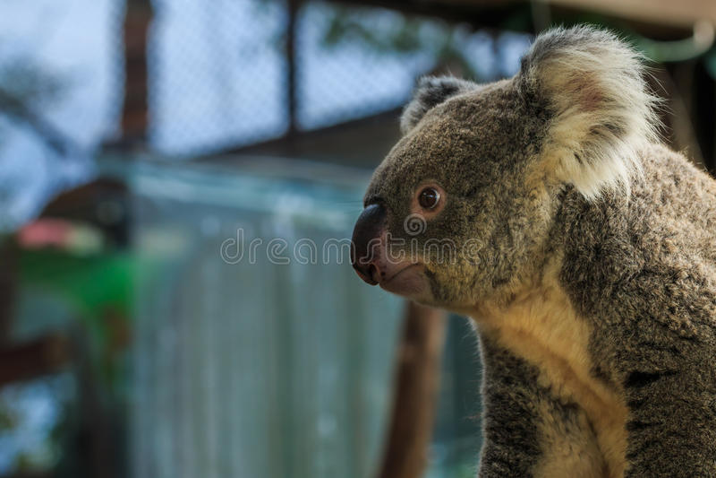 Медведи коалы, медведи стоковая фотография rf