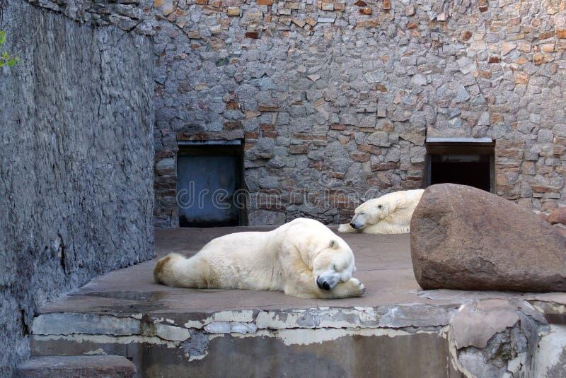 Медведи спать белые стоковая фотография rf