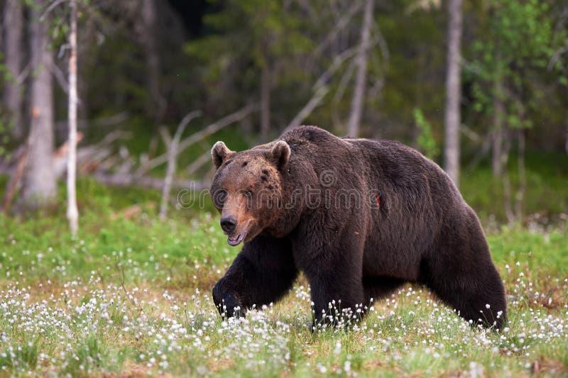 Медведь Брайна в пуще стоковые фото