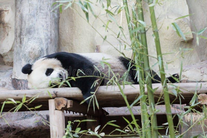 Медведь гигантской панды стоковое изображение rf