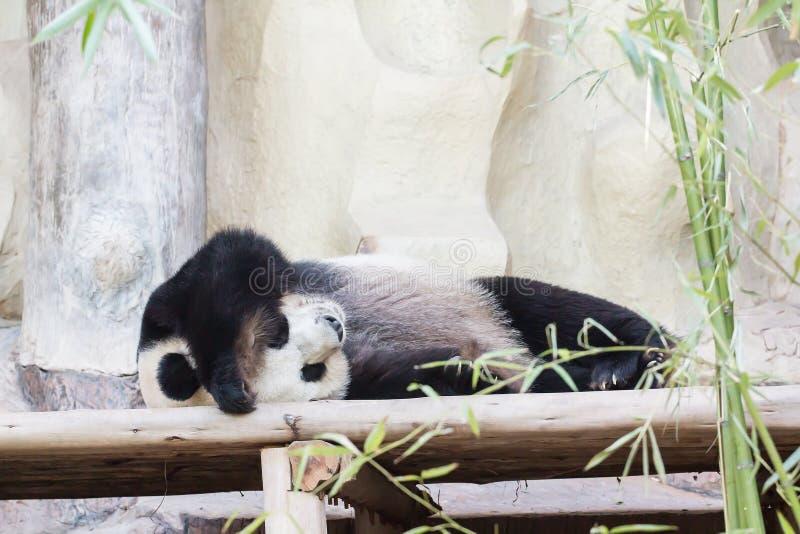 Медведь гигантской панды стоковое изображение