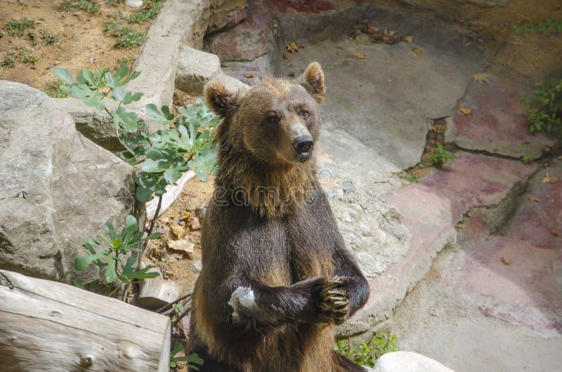 медведь голодный стоковая фотография