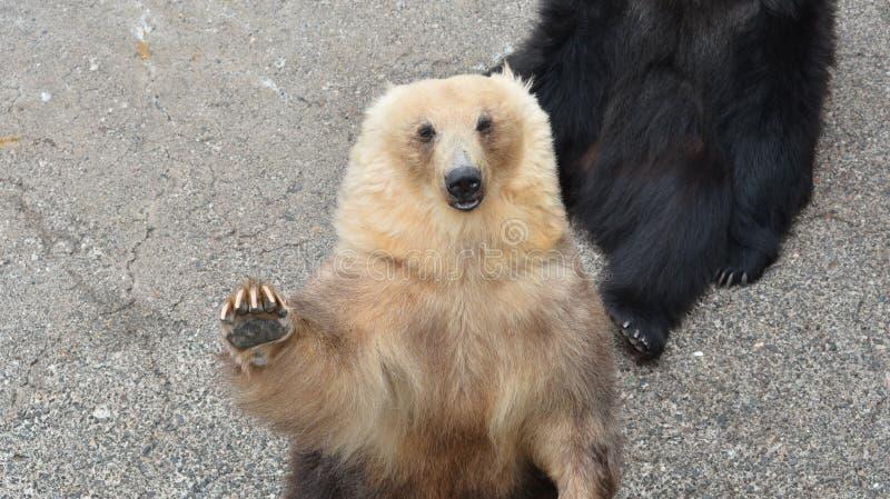 Медведь ждать некоторую еду стоковые фотографии rf