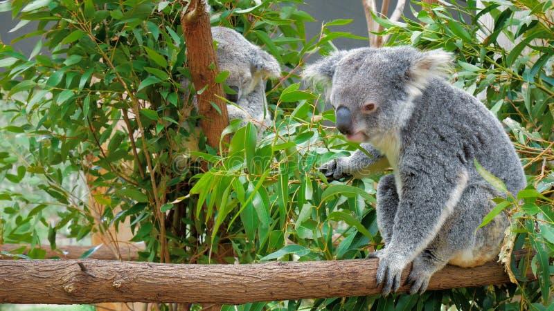 Медведь коалы есть зеленый свежий евкалипт выходит, Австралия акции видеоматериалы