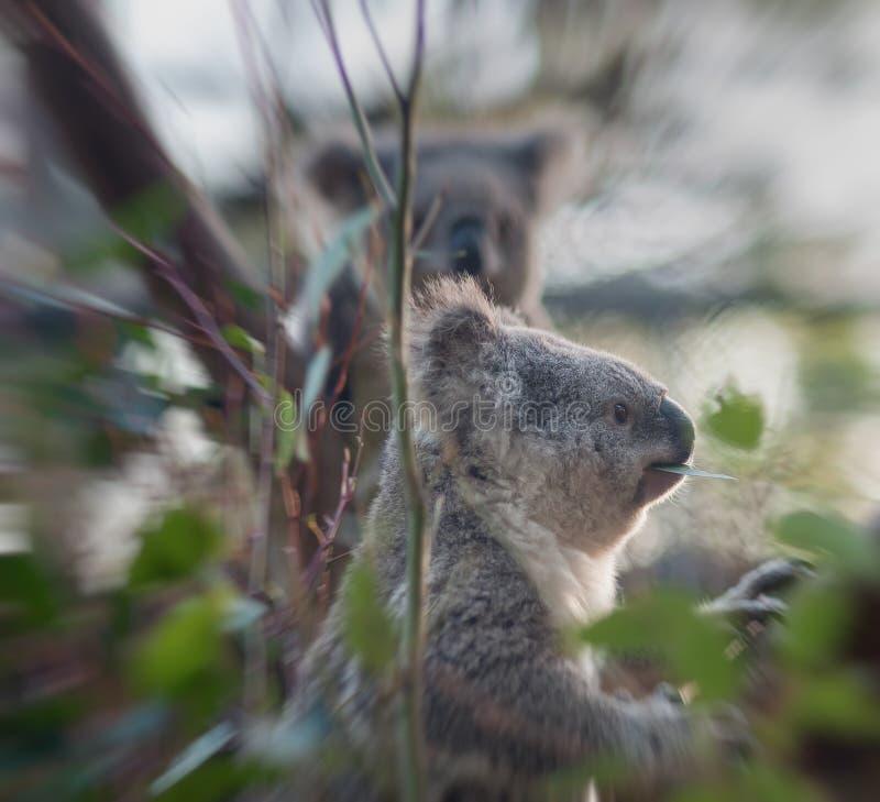 Медведь коалы есть листья стоковое фото rf