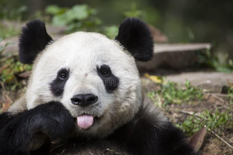 Медведь панды давая поленику стоковые фото