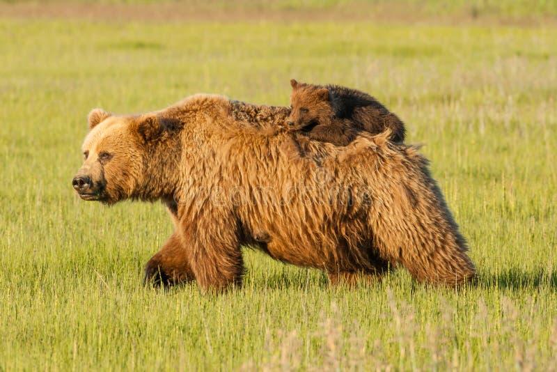 Медведь Cub на задней части матери стоковые изображения
