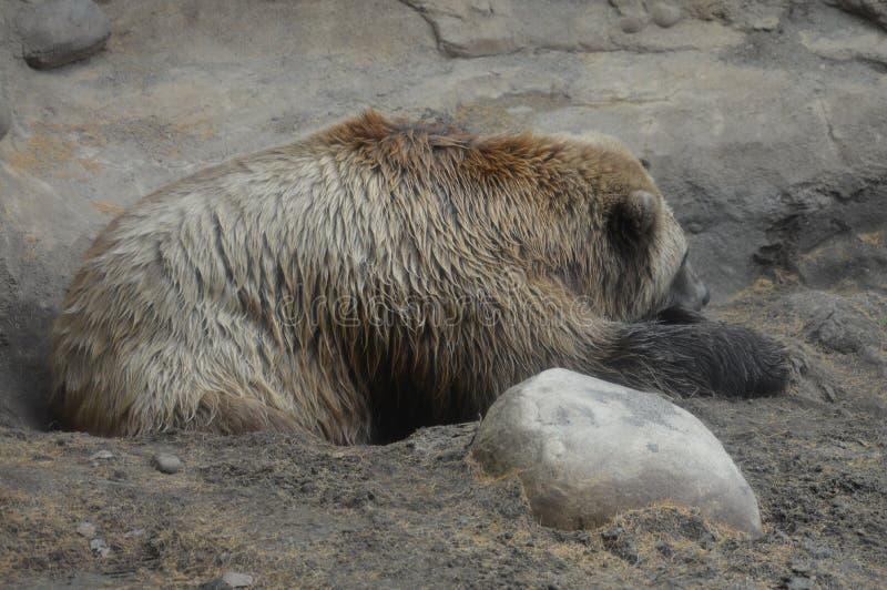 Download Медведь Grizzley фуражируя для еды Стоковое Изображение - изображение насчитывающей adulteration, цветы: 81800433