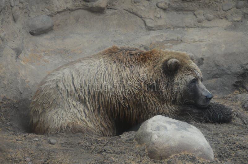 Download Медведь Grizzley фуражируя для еды Стоковое Фото - изображение насчитывающей backhoe, алеаторный: 81800752
