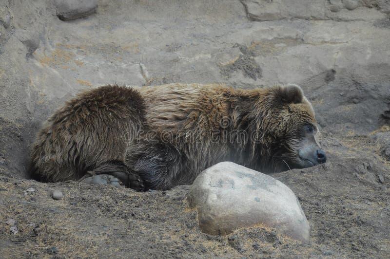 Download Медведь Grizzley фуражируя для еды Стоковое Изображение - изображение насчитывающей деталь, backhoe: 81805629