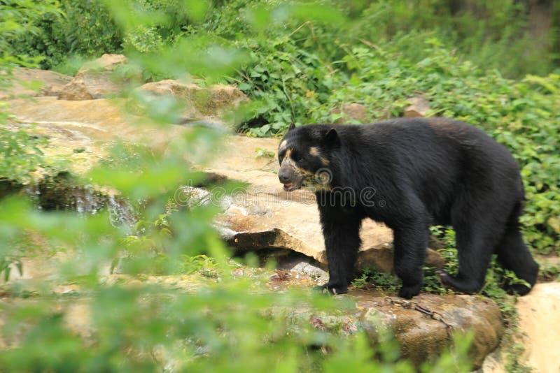 медведь spectacled стоковая фотография rf