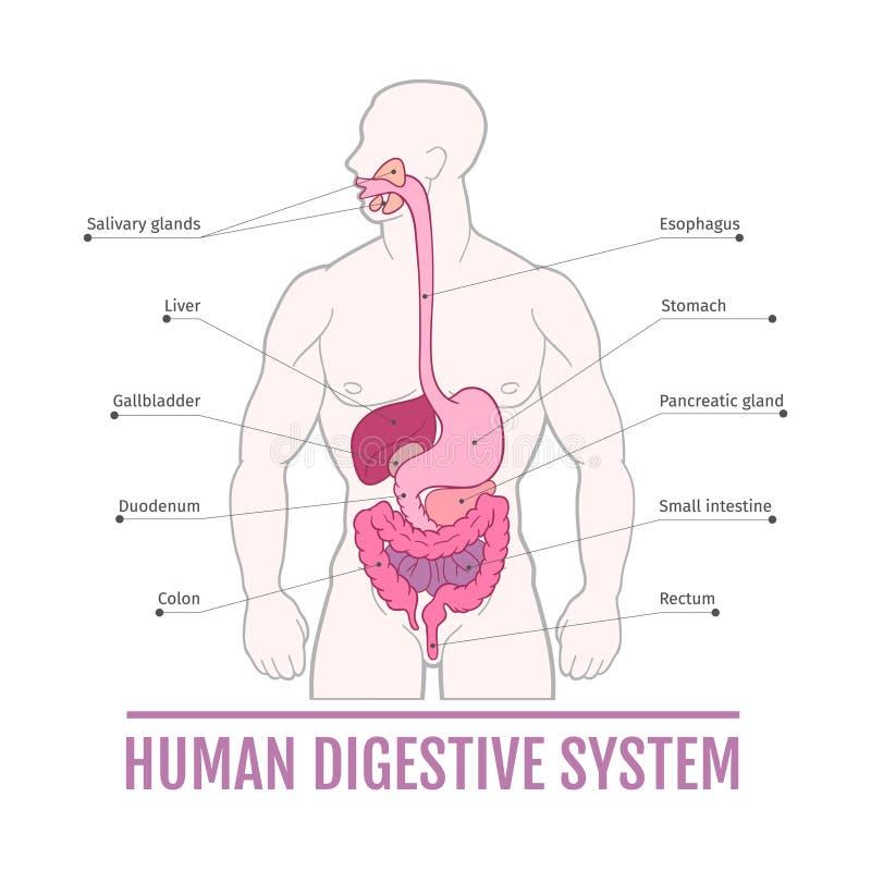 Медицинская иллюстрация человеческой пищеварительной системы схема для учебников иллюстрация штока