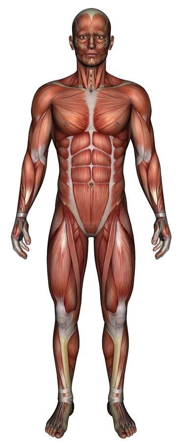 Медицинская мужская изолированная карта мышцы иллюстрация штока