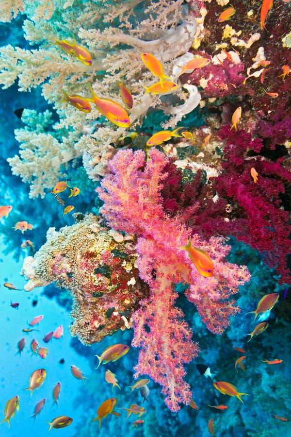 Мелководье рыб на коралловом рифе стоковое фото rf