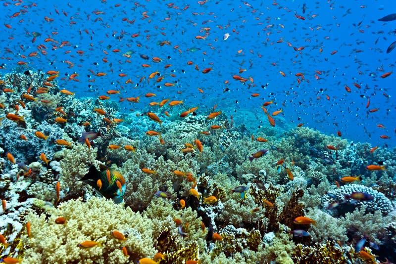 Мелководье рыб на коралловом рифе стоковые фотографии rf