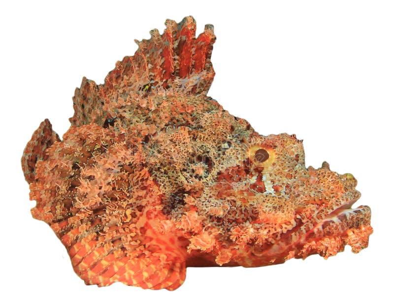 Мелкомасштабный Scorpionfish стоковое изображение rf