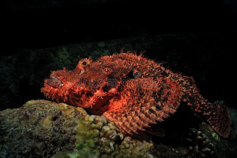 Мелкомасштабный scorpionfish стоковое фото