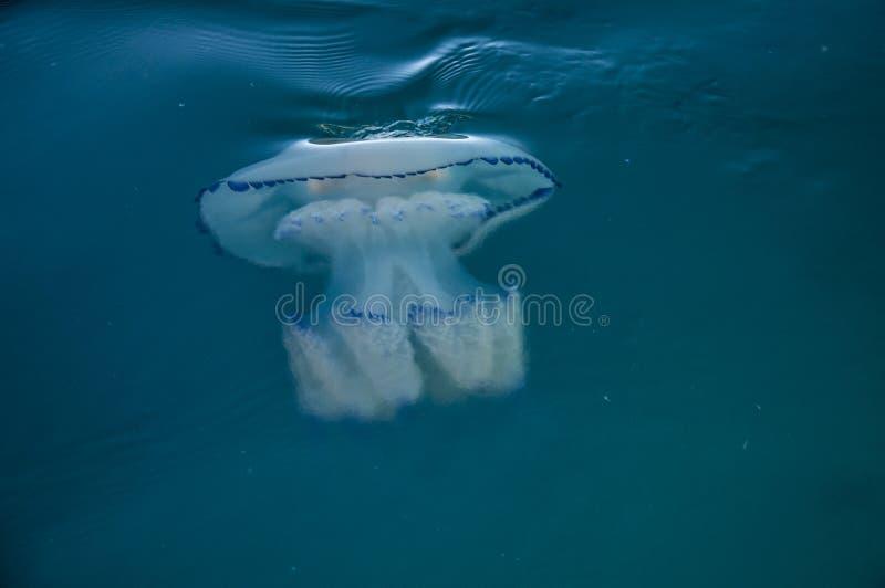 Медузы бочонка стоковые фото