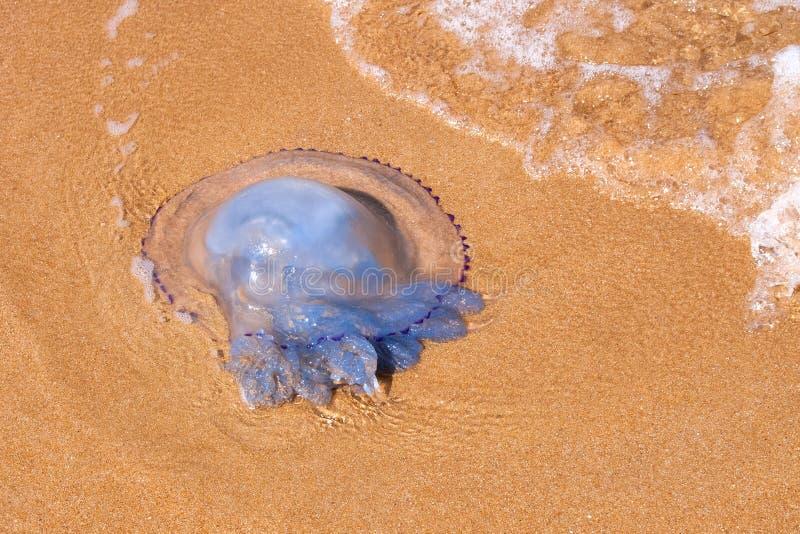Медузы лежа на песчаном пляже стоковые изображения