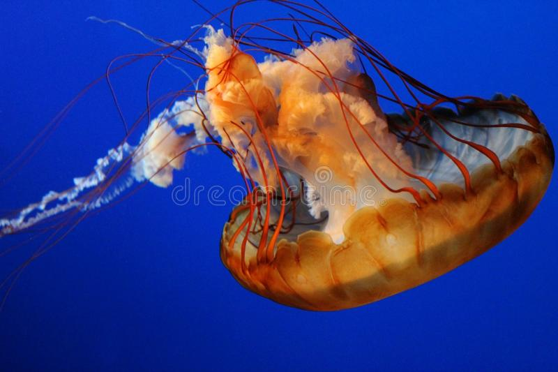 Медузы стоковые изображения rf