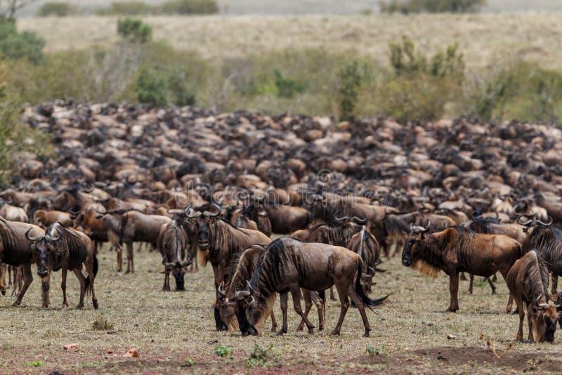 Миграция антилопы гну в Кении стоковые фотографии rf