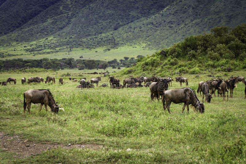 Миграция антилопы гну стоковые фото