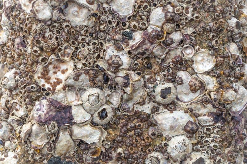 Мидии и clams с щипцами льнуть к изображению утеса во время отлива - стоковые изображения