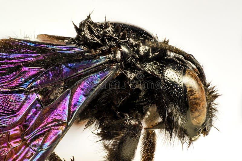 Микрорисунок черного шмеля стоковое изображение rf
