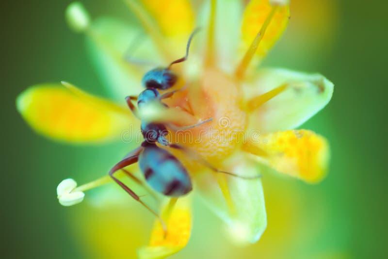 микроскопический цветок размер муравья привлекает насекомых стоковые изображения rf