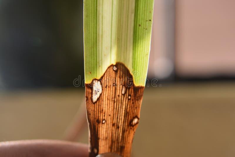 Микро- крупный план лист травы имея 2 полинял зеленое и коричневое стоковое фото rf