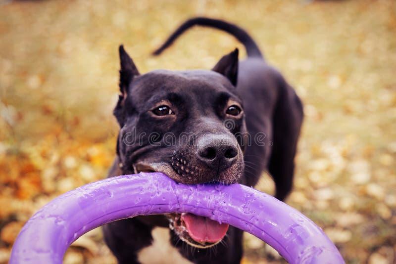 Милая американская собака терьера питбуля с игрушкой пулера в зубах в парке осени Молодая шаловливая собака вытягивает игрушку стоковые фото
