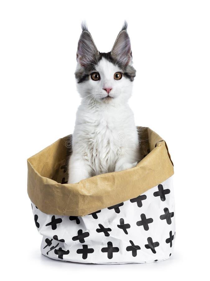 Милая белизна при голубой котенок кота енота Мейна арлекина tabby сидя вверх в белизне при коричневая бумажная сумка украшенная с стоковое изображение rf