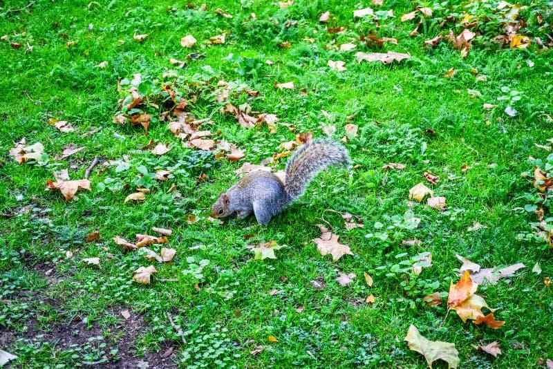 Милая белка бежать вокруг и есть внутри в парке St James, Лондоне, Англии, Великобритании стоковые фото