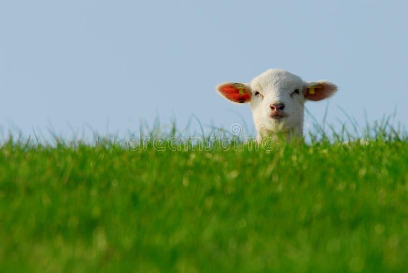 милая весна овечки стоковая фотография