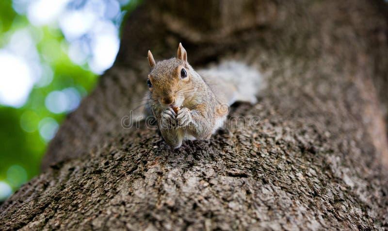 Милая восточная серая белка, carolinensis sciurus, вися вверх ногами на стволе дерева и держа арахис в лапках стоковые изображения rf