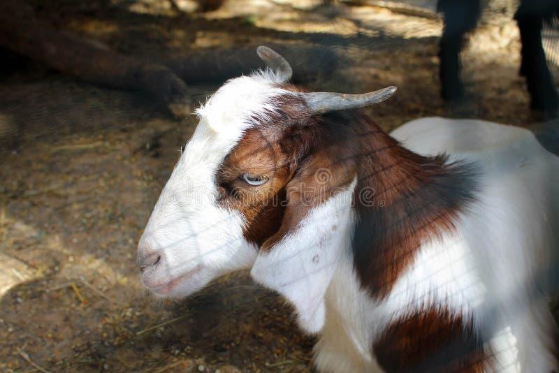 Милая коза в саде около грота Jeita, Ливана стоковое изображение