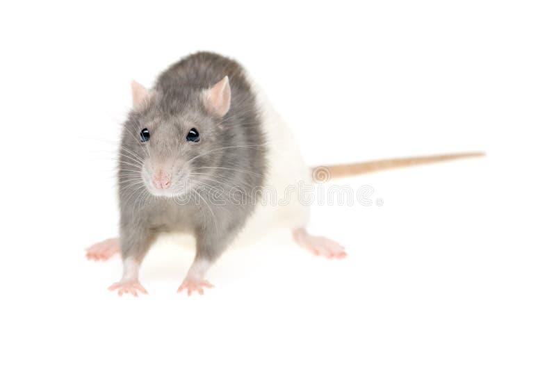 милая крыса стоковая фотография rf